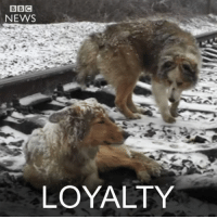 Memes, Bbc News, and Dodge: BBC  NEWS  LOYALTY 30 DEC: A video of two Ukrainian dogs dodging underneath trains has gone viral – and led to their rescue. The animals spent two days on a busy track in freezing temperatures with trains frequently rattling over them, but they were then reunited with their owners. Images courtesy of Denis Malafeyev. Watch more (in Ukrainian): bbc.in-dogrescue Dog Dogs Animals Ukraine AnimalWelfare AnimalRescue BBCShorts @BBCNews