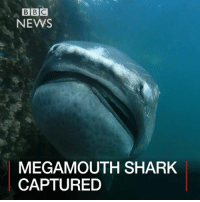 Alive, Animals, and Memes: BBC  NEWS  MEGA MOUTH SHARK  CAPTURED UPDATE: Unfortunately it has been reported that this rare shark later died. 23 MAY: The megamouth shark is rarely seen by humans, but one has been spotted in the Pacific Ocean near Tokyo. Japanese fishermen found the five metre deep-water shark caught alive in fishing nets. The shark was handed over to a diving company. It is hoped the discovery will help scientists learn more about the elusive shark, also known as Megachasma pelagios. Read more: bbc.in-lifeofsharks japan tokyo shark sharks megamouth deepwater sea water fish nature animals BBCShorts BBCNews @BBCNews