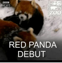 Memes, Red Pandas, and Panda: BBC  NEWS  RED PANDA  DEBUT 10 JAN: Red panda cubs Harriet and Hazel experience their first snow at Cincinnati Zoo. Find out more: bbc.in-redpandacubs Redpanda Redpandacubs Cincinnatizoo Zoobabies Snowday Winter Animalsinsnow Cincinnati BBCShorts BBCNews @BBCNews