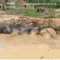 Animals, Asian, and Friday: BBC  NEWS  WCSIKong Sothin/Khang Soeung @bbcnews 30 MAR: Watch rescuers help 11 elephants, including a baby, get out of a mud-filled bomb crater in Cambodia. The endangered animals were rescued on Saturday, after spending four days in the swampy waters, according to officials. The drama took place in the Keo Seima Wildlife Sanctuary in Mondulkiri Province. When local farmers realised the elephants were trapped in the depression last Friday, they notified the Department of Environment, who in turn notified the World Conservation Society (WCS). The conservationists were able to mobilise a rescue effort, supported by provincial authorities, local people, and the Elephant Livelihoods Initiative Environment (E.L.I.E). There are believed to be only several hundred of the endangered Asian elephants in Cambodia, according to conservation groups. All images courtesy of WCS-Kong Sothin-Khang Soeung-E.L.I.E.@pmwhiphop