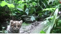 "Africa, Cats, and Chill: bead-bead: geekwithsandwich:  kakaphoe:  willowwish64:  babyanimalgifs: The Black Footed cat is the smallest wild cat in Africa and one of the smallest wild cats in the world.  Here's an adult kitty for size comparison:   too smoll  OK but you can't mention my all-time favorite cat without also mentioning that these little motherfuckers are legendary for being 1000% ready to throw down with anyone at any time, they've literally been seen trying to fight a giraffe and are known to successfully bring down sheep by getting underneath them and ripping their bellies open like what the fuck, chill Their name in Afrikaans means ""anthill tiger"" because they'll hide inside a hollowed out anthill and then jump out and try to rip your face off They are perfect and I love them  Aw, look at these little murder muffins."