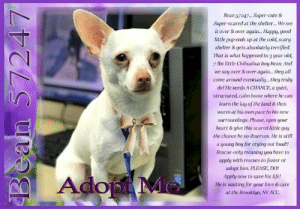 Chihuahua, Crying, and Cute: Bean 57247 Super-cute &  Super-scared at the shelter... We see  it over &over again... Happy, good  little pup ends up at the cold, scary  shelter & gets absolutely terrified.  That is what happened to 3 year old,  7 lbs little Chihuahua boy Bean. And  we say over&over again... they all  come around eventually.. they truy  do! He needs A CHANCE, a quiet,  structured, calm home where he carn  learn the lay of the land & then  warmat his own pace to his new  surroundings, Please, open your  heart&give this scared ltle guy  the chance he so deserves. He is still  a young boy for crying out loud!!  Rescue-only meaning you have to  apply with rescues to foster or  adopt him. PLEASE, DO!  Apply now to save his life!  He is waiting for your love & care  at the Brooklyn, NY ACC  Ado **FOSTER or ADOPTER NEEDED ASAP** Bean 57247... Super-cute & Super-scared at the shelter... We see it over & over again... Happy, good little pup ends up at the cold, scary shelter & gets absolutely terrified. That is what happened to 3 year old, 7 lbs little Chihuahua boy Bean. And we say over & over again... they all come around eventually... they truly do! He needs A CHANCE, a quiet, structured, calm home where he can learn the lay of the land & then warm at his own pace to his new surroundings. Please, open your heart & give this scared little guy the chance he so deserves. He is still a young boy for crying out loud!! Rescue-only meaning you have to apply with rescues to foster or adopt him. PLEASE, DO! Apply now to save his life! He is waiting for your love & care at the Brooklyn, NY ACC.  ✔Pledge✔Tag✔Share✔FOSTER✔ADOPT✔Save his life!  Bean 57247 Small Mixed Breed: Chihuahua Sex male Age 3 yrs (approx.) - 7 lbs My health has been checked.  My vaccinations are up to date. My worming is up to date.  I have been micro-chipped.  I am waiting for you at the Brooklyn, NY ACC. Please, Please, Please, save me!  **************************************** To FOSTER or ADOP