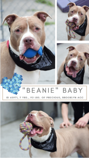 """Butt, Dogs, and Family: """"BEANIE""""  BABY  ID 65971, 7 YRS., 92 LBS. OF  PRECIOUS, BROOKLYN ACC INTAKE DATE – 6/14/2019  Beanie baby is a chunkster and there's no way around it.  But we feel it just gives us more to love.  This big, happy, gentle, sweet, middle aged guy is so easy to be with and easy to love.  Grateful for attention, pets and his favorite – butt scritches, he could spend his whole day basking in the love of his human.  Watch his video to see what a great guy he is, and how worthy of a family.  Then rush to foster or adopt him before he gets sick and hits the list to die.  We adore him, so will you.  Message our page or email us at MustLloveDogsNYC@gmail.com for assistance!   MY MOVIE:  Beanie Baby  https://youtu.be/JRQIMiK3VVg   BEANIE, ID# 65971, 7 yrs old, 92.4 lbs, Neutered Male Brooklyn ACC, Large Mixed Breed, Brown / White    Owner Surrender Reason:  Shelter Assessment Rating:  Medical Behavior Rating:  ***  TO FOSTER OR ADOPT  ***   If you would like to adopt a NYC ACC dog, and can get to the shelter in person to complete the adoption process, you can contact the shelter directly. We have provided the Brooklyn, Staten Island and Manhattan information below. Adoption hours at these facilities is Noon – 8:00 p.m. (6:30 on weekends)  If you CANNOT get to the shelter in person and you want to FOSTER OR ADOPT a NYC ACC Dog, you can PRIVATE MESSAGE our Must Love Dogs page for assistance. PLEASE NOTE: You MUST live in NY, NJ, PA, CT, RI, DE, MD, MA, NH, VT, ME or Northern VA. You will need to fill out applications with a New Hope Rescue Partner to foster or adopt a NYC ACC dog. Transport is available if you live within the prescribed range of states.  Shelter contact information: Phone number (212) 788-4000 Email adopt@nycacc.org  Shelter Addresses:  Brooklyn Shelter: 2336 Linden Boulevard Brooklyn, NY 11208  Manhattan Shelter: 326 East 110 St. New York, NY 10029  Staten Island Shelter: 3139 Veterans Road West Staten Island, NY 10309  *** NEW NYC ACC RA"""