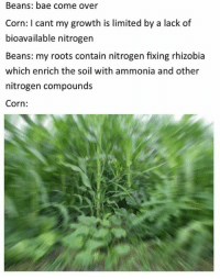 nitrogen: Beans: bae come over  Corn: I cant my growth is limited by a lack of  bioavailable nitrogen  Beans: my roots contain nitrogen fixing rhizobia  which enrich the soil with ammonia and other  nitrogen compounds  Corn