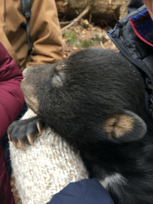 Bear cub I got to see while tagging along on a bear tagging trip with my state environmental agency: Bear cub I got to see while tagging along on a bear tagging trip with my state environmental agency