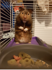 Bear, Hamster, and Feet: Bear the hamster standing on two feet