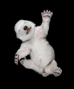 bears-addict:  One month old polar bear cub. Cubs are born between November and December in a snow den, they are born blind, hairless, and deaf. Within the first month of life, their eyes open, and within 2 months, they grow teeth and fur and begin to walk.: bears-addict:  One month old polar bear cub. Cubs are born between November and December in a snow den, they are born blind, hairless, and deaf. Within the first month of life, their eyes open, and within 2 months, they grow teeth and fur and begin to walk.