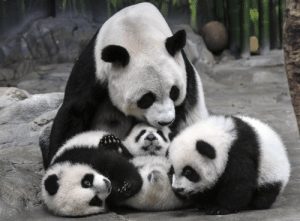 bears-addict:  Panda mother Ju Xiao and her triplets at Chimelong Safari Park, southern China. The cubs, born on July 29, are the fourth panda triplets recorded in history and the only living triplets now in the world.: bears-addict:  Panda mother Ju Xiao and her triplets at Chimelong Safari Park, southern China. The cubs, born on July 29, are the fourth panda triplets recorded in history and the only living triplets now in the world.