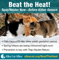 """Kitten Season is when kittens are born at a rapid rate in spring and summer. You can prepare and """"beat the heat"""" if you spay and neuter cats before warm weather.  www.alleycat.org/BeatTheHeat: Beat the Heat!  Spay/Neuter Now-Before Kitten Season  Cats have a 63-day (nine-week) gestation period  Spring kittens are being conceived right now!  Prevention is key with Trap-Neuter-Return  Alley Cat Allies  alleycat.org/BeatTheHeat Kitten Season is when kittens are born at a rapid rate in spring and summer. You can prepare and """"beat the heat"""" if you spay and neuter cats before warm weather.  www.alleycat.org/BeatTheHeat"""
