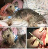 Animals, Bones, and Family: BEAUFORT, SC....10 y/o Mini Schnauzer with Bowel Obstruction need Emergency Surgery to Live.  Please, Help Us, Help Him by DONATING.  http://www.noahs-arks.net/animal/view/kc-mini-schnauzer#.Wfe8lEyZN-U  BEAUFORT, SC.......This weekend has been a Nightmare dealing with Major Abuse cases.   I will never understand people that abuse innocent little pups.  I will post for those animals later in the week once they have arrived the hospital and become stable but for now, we have a different kind of story.   On the opposite end of the pendulum are people that would do anything in their power to save their beloved Family member.  Sweet KC is one of those cases.  I got a phone call from someone that knew what I did and was trying to get help for her co-workers 10-year-old Mini-Schnauzer named KC.  I heard the story and then explained we only do major Medical Abuse Cases.  I asked if he had seen a Vet and what the Vets had said and offered guidance.   I then decided to talk to the Owner of the dog, and she said she would sign the dog over to save him or at least give him a chance.  She had seen several Vets and had also taken him to the ER, and she did not have the funds that were needed to save her dog.  I listened to her plea and suddenly realized, if I did nothing, this sweet dog would probably die a horrible death over the next two days.  KC had a Bowel Obstruction, and nothing was going through his system.   I contacted Charleston Veterinary Referral Center where KC had been taken and spoke to one of the Specialists to get a better understanding of exactly what was going on with KC.  By the end of the conversation, I knew this poor dog was soon going to become septic from his bowel rupturing, and I would not be able to save him.  The Owner signed KC over to us so I could make the necessary Medical decisions to do everything possible to save him.   KC'S situation was grave at best.  I had him taken to CVRC immediately to see what could be done.  We did every test imaginable to figure out exactly where the obstruction was to see if we could clear it.  Sadly, nothing was working, and we had to put a Naso-Gastric tube in and closely monitor for signs of distress.  He was diagnosed with a stricture at the junction of the jejunum and ileum (the 2nd and 3rd segments of the jejunum). This created an obstruction or blockage preventing food material from passing.   KC had been fed pork bones which were becoming lodged prior to this stricture and contributing to the obstruction.   KC became clinical yesterday and had to have emergency surgery to clear the blockage.  We posted a picture so you could see how badly swollen the area was before the blockage.  We don't know what caused the stricture.  We have taken several samples that have been sent off for biopsies to be done.  KC is still critical and is in ICU.   Please, Help Us, Help this sweet pup by Donating.  The Owner was willing to sign him over so he could be saved.  Now let's save them both.  Warm hugs....Jennifer