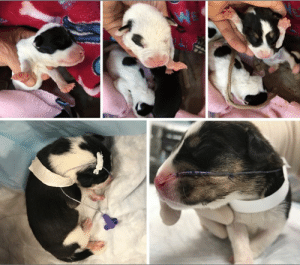 Animals, Beautiful, and Food: BEAUFORT, SC...3 Cleft Palate Puppies fighting to Survive.  Please, Help Us with their Medical Bills by DONATING.  https://www.noahs-arks.net/animal/view/cleft-palate-puppies#.XNwThaeZOu4  BEAUFORT, SC.....On Friday we got a call from Beaufort County Animal Control about three 14 day old puppies with Cleft Palates.  A cleft palate is an opening between the mouth and nose which occurs when the tissues forming the palate do not fuse properly.    Puppies with this abnormality have a difficult time nursing.      Animal Control was contacted when seven of the ten puppies had already died.   The Owner did not know how to take care of them and went to the vet with the remaining three puppies.  He said it was best to put them down, which is why she called Animal Control.   The objective with Cleft Palate puppies is to supply nutritional support until the puppy is old enough and healthy enough to survive surgery to repair the defect.   We wanted to give the puppies a chance which is why we had them taken to CVRC in Charleston.   We knew how difficult and expensive it was going to be to save these puppies, but we wanted to try.   Right after they arrived, we lost one of the puppies, and the other two were also critical.  They were immediately put in ICU and stabilized.   Newborns need to be fed every three hours.  They have to have a tiny tube inserted down their throat that goes into the stomach.  They are then fed through the tube with a syringe which is removed after each feeding every three hours.   The problem with these innocent tiny Angels is it is effortless for them to aspirate food into their lungs.  You have to be very precise where the tube is inserted.  Puppies will begin to swallow the tube as it is inserted very slowly.  The tube has to be marked where the stomach would end, so you do not insert the tube too far or not enough.   You measure from the last rib to the mouth and mark it on the tube.  That is where you would stop inserting the tube and slowly syringe feed.   It all sounds pretty simple, but it is not.   You have to be very dedicated for quite a long time to these innocent Souls and not rush any of the feedings or give too much.   Sadly, by the time we were notified, the puppies had not been fed and were trying to suckle on the Mom and ended up aspirating.   By the second day in ICU, our second pup had passed away.   We now had one puppy left that was doing well named Achilles.    Dr. Torres had taken over his care and decided it was best to put in a Naso-Gastro tube to help with the feedings.  He used an x-ray to help him guide the tube to the exact spot in the stomach and tacked the tube down.   Our little bundle was kept warm, fed every three hours, and was monitored constantly for any signs of distress.   Achilles was finally able to relax and sleep and was doing well.    None of the puppies eyes had opened, so touch and soothing sounds were essential to his well-being.    Late last night, Achilles began to show signs of Pneumonia.   An x-ray showed his lungs were malformed, and he was on his way to having Pneumonia.   He was treated and began to improve during the night.   Sadly, this morning, his breathing became too difficult for me to continue his care.   We had done all we could to give him the best Quality of Life, but that changed when he began to struggle.  I knew we had to help him cross over.    Very peacefully, Achilles crossed over the Rainbow Bridge and was greeted by nine of his siblings that had crossed over before him.   I believe every creature deserves a chance if Quality of Life is at the forefront of your mindset.   When Quality of Life is not there, it is time to say Good-Bye in the most loving way.    If I had it to do all over again, I would do the same thing and give these beautiful Angels the same opportunity.  I have saved some and have lost some.  Each time, I learn more about what it takes to save them.   I believe our results would have been better if they did not arrive after they had each aspirated.    No one knows why animals are born with Cleft Palates.  Genetics is considered the leading cause of this problem but nutritional deficiencies, viruses, and poisons that affect the mother during pregnancy also increase the risk of cleft palates.    It is one of Life's Mysteries that teaches us to love and nurture the abnormal and disfigured.   Life is not about being perfect in someone else's eyes.   Each one of our pups is marred and abnormal, and in our eyes, they are Perfect in every way.     Whatever you believe, God or the Universe gives us Gifts of pure Joy in the form of these innocent Souls.   Unconditional Love is all they want or need to survive, and unconditional Love is what they need when the time comes to say Good-Bye and get their Angel Wings.  Tonight when you look up into the Night Sky, look for ten bright stars moving across the Heavens.   Achilles and his Siblings have their golden Angel Wings and are whole.   We have thousands of dollars of Medical Care into saving these tiny puppies.  We didn't get the results we wanted, but we did give them the only opportunity they had to survive.  These puppies knew Love and Compassion before they passed.  I believe Cleft Palate puppies should be given a chance and not immediately euthanized.  Please, Donate toward their Medical Cost so we can help more pups like Achilles live long enough to have the surgery they would need to live a long Normal Life.