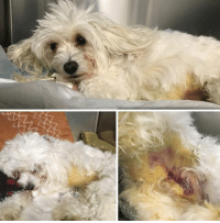 Dogs, Family, and Memes: BEAUFORT, SC....3 y/o Maltipoo ABUSED in ICU w/ Liver and Pancreas damage.  Please, Help Us, Help Him by DONATING.  http://www.noahs-arks.net/animal/view/dusty-maltipoo#.Wf0CrraZM0p  BEAUFORT, SC.....We were contacted by one of the Vets we work with on Lady's Island about a neglected Maltipoo that was brought in by the Owner to be euthanized.  The Owner said Dusty had fallen down some stairs, had broken his leg a week prior, and she wanted Dusty put to sleep.  The Vet knew the dog they had brought in and was shocked how he looked.     We were contacted because the same Family had brought in a Shiba Inu about ten months ago that had severe flea allergies, no fur, a limp and the Family wanted that dog also euthanized. The new dog Dusty was Critical and needed to be in ICU, or he would not survive.  Dusty was signed over to the Vet, and they relinquished him to us.     I have seen abuse, but I have never seen anything quite like this.   Dusty had jaundice so badly that his skin was bright yellow.   He had a fractured leg, and his abdomen was one big bruise.  His blood panel was off the chart abnormal.   Dusty was not going to make it through the night if we did not have a Critical Care Team working on everything that was wrong.     Dusty has severe acute pancreatitis and obstruction of his bile duct.  His liver values and most notably his bilirubin is markedly elevated making him jaundiced.  He has no interest in eating from his pancreatic inflammation.  His liver disease has been evaluated with bloodwork and a fine needle aspirate which confirmed severe inflammation and no evidence of cancer or toxic injury.  Inflammation can be secondary to trauma or infection.  He was started on an antibiotic due to his severe liver insufficiency.  He was significantly anemic and required a blood transfusion.   Dusty is so critical that we can only treat his fracture with pain meds at this time.  Surgery will have to wait until he is stable which may never happen.  We have had to put an NG feeding tube in since Dusty feels so terrible that he will not eat anything.   The Specialists feel Dusty is sick because of trauma he has sustained.  This kind of trauma does not come from rolling down the stairs.  Bruises like this come from someone kicking a small dog hard enough to cause such bruising and trauma.   We have contacted Animal Control, and they are investigating the case.  The most disturbing part is the Family that had both of these dogs, are both Family Physicians.  These are Medical Professionals that are supposed to care and nurture people.   The neglect and abuse this poor dog has endured is unimaginable.  Even if they did not do what we think they did, they kept Rusty for one week with severe injuries without any Medical Care.  Everyone that has seen Dusty is outraged by what they are seeing.  If they did not do this, then why didn't they get him treated IMMEDIATELY.   Dusty is Critical and will be for quite a while.  He is an adorable little bundle of fur that has suffered unimaginable pain.  What kind of people do this?   The idea that Medical Doctors did this makes the abuse that much worse.  These are educated people that should do everything to prevent this kind of abuse.   We need for everyone to please, Donate whatever you can so we can do whatever is needed for Dusty to survive.  We have to get his blood values to stabilize, and we are not even close to that happening.  We are prepared to do as many transfusions as necessary to get this sweet pup feeling better.   It would be one thing if Dusty had cancer and that is what was causing this, but that is not the case.   Severe inflammation from Trauma is what all the tests are showing.