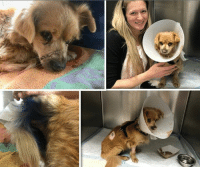 Comfortable, Family, and Food: BEAUFORT, SC...7 y/o Pomeranian Tortured by Electrocution, in ICU, Critical.  Please, Help Us, Help Him by DONATING.  https://www.noahs-arks.net/animal/view/lou-pomeranian#.WpmIj2aZOqA  BEAUFORT, SC.....We were contacted late Tuesday afternoon by Beaufort County Animal Control begging for help with a 7-year-old Pomeranian that had been tortured.  He was brought in the day before and was with a Vet while they contacted the Family.  Once the Family was found, they explained a missing dog report had been done on this sweet pup a week ago.  He appears to have been electrocuted.   His mouth is in horrible shape, and part of his tongue has been destroyed.   We contacted the Vet's office to make sure he could survive the trip to the ER in Charleston, SC.    Dr. Cifranick was doing his best to save Lou, but he needed Critical Care and needed to go their now.   Beaufort County immediately went to pick up Lou to transport to CVRC in Charleston for us.      This sweet pup has endured unimaginable pain for approximately a week based on the condition of his mouth.  When he arrived, all they could do was stabilize him and get him comfortable.   His body temperature was low, and his vitals were not stable but through it all, he wanted nothing but love.    Lou survived the night in ICU and was stabilized.    The next day Dr. Rachel Seibert sedated him so she could determine all that had happened in his mouth and what needed to happen next.   Lou was found in a ditch near the Laurel Bay Food Lion about six miles from where he lived.  The best we can determine is someone stole him out of the Family's yard, or he left the yard and was picked up and tortured.  Whatever happened did not happen near his home.  Dr. Seibert has done her best to come up what she thinks could have happened to this sweet, sweet dog.   Biting into an electrical cord would not do the kind of damage he has.  A caustic substance was a possibility, but an animal is not going to do that to themselves.   A third of his tongue is destroyed and dead, and part of the roof of his mouth is raw from burns along with the back area.    Lou has been unable to eat because of his injuries.   We are putting in a Naso-Gastro tube so he can take in nutrients.   He wants to eat but is still very uncomfortable.    The fact he wants to eat is a wonderful sign for a dog that has been this way for over a week.   Dr. Seibert has done her first surgery on Lou and has removed the dead front third of his tongue.   She has cleaned the other areas so they can begin to granulate.  At first, we thought someone had put a firecracker in Lou's mouth, but the damage from that would have been catastrophic.   Lou will have to remain in ICU while he is recovering.  The day he went in, we knew he would probably not make it but wanted to give him a chance and also to get him comfortable.  Lou's situation could change at any time, but for now, he is stable and comfortable and loves to give kisses with his smelly, smelly breath.    Once his infection is under control, his breath will go back to normal, but for now, that is the least of our concerns.   Lou has lots of other health issues that need to be addressed from poor medical care.  Those issues will be addressed once he heals from the injuries he has now.  Please, DONATE toward Lou's Medical bills.   He is in ICU and is Critical.   We need to do everything we can to save this sweet boy.  Lou could have died any time during the week he was injured.  He hung on and needs to be given a chance with proper Medical Care to Survive the Abuse that was done to him.   Beaufort County Animal Control is looking for any information that could lead them to the arrest of the person that did this.  Anyone that has information on an older Pomeranian Dog that had blue paint on his rear end, please contact them at 843-255-5010.  Lou had recently been neutered, and someone had sprayed Farnam Wound-Kote Blue Lotion Spray Wound Dressing on him.