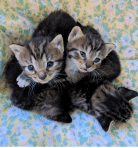 Beautiful 2 week old kittens in a tiny little kitten heap: Beautiful 2 week old kittens in a tiny little kitten heap