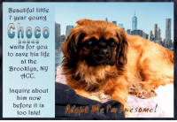 Animals, Beautiful, and Desperate: Beautiful little  7 year goung  waits for you  to save his life  at the  Brooklyn, Ny  ACC  Inquire about  him novw  before it is  too late!  wesome SAVED BY Pound Hounds ResQ TY!!! <3 Pls, honor your pledges and donate via https://www.poundhoundsresq.org/donate  Beautiful little 7 year young Choco waits for you to save his life at the Brooklyn, NY ACC. Inquire about him now before it is too late!  ✔Pledge✔Tag✔Share✔Foster✔Adopt✔Save his life!  Choco 34949 Small Mixed Breed: Pekingese Spaniel blend?  Sex male Neutered Yes Age 9 yrs (approx.) Weight 18.2 lbs My health has been checked.  My vaccinations are up to date. My worming is up to date.  I have been micro-chipped.  I am waiting for you at the Brooklyn, NY ACC. Please, Please, Please, save me!  ****************************************** To FOSTER or ADOPT, SPEAK UP NOW & Save a Life, Direct Adopt from the ACC Or Apply with rescues OR Message Must Love Dogs - Saving NYC Dogs for assistance!!! ******************************************  The general rule is to foster you have to be within 4 hours of the NYC ACC approved New Hope partner rescues you are applying with and to adopt you will have to be in the general NE US area; NY, NJ, CT, PA, DC, MD, DE, NH, RI, MA, VT & ME (some rescues will transport to VA). ✔Pledge✔Tag✔Share✔Foster✔Adopt✔Save a life! Thank you for caring! ================================= ... NOTE: *** WE HAVE NO OTHER INFORMATION THAN WHAT IS LISTED WITH THIS FLYER *** ... – please email Adoption@NYCACC.org for additional info - SUBJECT Line: Enter animal ID number and the shelter location - Don't forget to add your email address and phone numbers where they can reach you to your email as well. ... ============ Shelter address ========== - Brooklyn Shelter: 2336 Linden Boulevard Brooklyn, NY 11208  - Phone number (212) 788-4000 (automated only) Operating hours: Monday through Friday 12.00pm to 8.00pm, Saturday & Sunday: 10.00am to 6.00pm. Closed on all Holidays