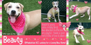 "Animals, Beautiful, and Children: Beautiful young  petite initialy timid  fikes attentlon &affection  very playful-Needs a good  home& lots of love & patience  67-51-1gears old, 37 lbs  Beauty  @Manhattan ACC waiting for a Loving New Home! TO BE KILLED - JULY 13, 2019  ""Opening up your life to a dog who needs a home is one of the most fulfilling things you can do."" - Emma Kenney  A volunteer writes: Young Beauty is slowly discovering, one at a time, the many friends, two and four legged, she has around her. She does everything in slow motion and prudently, making sure that she can retreat to ""safety"" if needed. A beautiful lad on the other side of the pen peaks her curiosity. Looks like she would not mind meeting him! Beauty is familiar with a leash, just a bit shy walking in the busy streets around the care center. We need to try the park! She does not show yet an interest in toys and balls, but treats that she did not accept at first, were welcome at the end of our encounter. Beauty knows ""sit"", ""hop on the bench"" and favors settling very close to me for caresses and gentle words. What a pretty and dear young gal she is! Petite and dressed in a cream robe delicately marked by various shades of brown, Beauty is an adorable princess, timid within our walls but who will likely flourish in your loving and caring hands. Come and meet her at the Manhattan Care Center!  BEAUTY@MANHATTAN ACC Hello, my name is Beauty My animal id is #67451 I am a female tan dog at the  Manhattan Animal Care Center The shelter thinks I am about 1 years old, 37 lbs Came into shelter as a stray 6/28/2019  Beauty is at risk for medical reasons. Beauty was diagnosed with canine infectious respiratory disease complex which is contagious to other animals and will require in home care. Behaviorally, Beauty has been fearful at the care center and will need a gradual approach when introducing her to new people and environments.  My medical notes are... Weight: 37.8 lbs Vet Notes 6/29/2019 [DVM Intake] DVM Intake Exam Estimated age: young adult Microchip noted on Intake? neg History : stray Subjective: bar with dirty hair coat Observed Behavior - was able to to muzzle and handle completely with slow movements. very sweet but very scared Evidence of Cruelty seen - none Evidence of Trauma seen - none Objective  P = 100 R = 24 BCS: 4/9 EENT: Eyes clear, heavy brown crusty debris AU with moderate erythema, no nasal or ocular discharge noted Oral Exam: muzzled for exam PLN: No enlargements noted H/L: NSR, NMA, Lungs clear, eupnic ABD: tense non painful U/G: FI, prominent vulva with normal yellow colored vaginal d/c. no mammary gland masses MSI: Ambulatory x 4, skin free of parasites, no masses noted, dirty discolored hair coat CNS: Mentation appropriate - no signs of neurologic abnormalities Rectal: grossly normml  Assessment: young adult FI Canine 1. otitis externa  Prognosis: excellent with care  Plan: 1. cleaned both ears and applied Oti-pack E AU 2. start trazadone   SURGERY: Okay for surgery   6/30/2019  BAR, eating very well Terrified in the back of kennel  Start trazadone 100 mg PO BID until otherwise directed.  7/7/2019  SO: on rounds mucoid nasal dc noted  sneezing seen during observation period BAR in kennel at front and barking  A: CIRDC  P: move to iso enrofloxacin 204mg 1 tablet PO SID x10d Doxycycline 2 tablets PO SID x10d Cerenia 16mg 1 tablet PO sid x4d  recheck in 7d  Details on my behavior are... Behavior Condition: 3. Yellow  Behavior Assessment  Date of intake:: 6/28/2019  Means of surrender (length of time in previous home):: Stray  Date of assessment:: 6/30/2019  Summary:: Leash Walking Strength and pulling: Light Reactivity to humans: None  Reactivity to dogs: None Leash walking comments: None  Sociability Loose in room (15-20 seconds): No approach – nervous, tense Call over: Approaches with coaxing Sociability comments: Body tense, tail tucked  Handling  Soft handling: Fearful Exuberant handling: Fearful Handling comments: Body tense, tail tucked  Arousal Jog: Engages in play (loose)  Arousal comments: None  Knock: No response Knock Comments: None  Toy: No response Toy comments: None  Summary:: 7/1: When introduced off leash to other calm dogs, Beauty allows polite greeting. She displays most interest in approaching handlers and shies away from playful approach.  7/2-7/3: Beauty opens up and begins to engage in play.  7/5-7/6: Beauty engages in bouncy play with male dogs. She offers correction for mounting behavior.   7/7: Beauty engages in play and continues to offer correction for mounting. When approached by a dog who growls, she growls in response.  Date of intake:: 6/28/2019  Summary:: Fractious, required a pole to be used  Date of initial:: 6/29/2019  Summary:: Fearful, allowed slow exam  ENERGY LEVEL:: We have no history on Beauty so we cannot be certain of her behavior in a home environment. However, she is a young dog who will need daily mental and physical activity to keep her engaged and exercised. We recommend long-lasting chews, food puzzles, and hide-and-seek games, in additional to physical exercise, to positively direct her energy and enthusiasm.  BEHAVIOR DETERMINATION:: Level 3  Behavior Asilomar: TM - Treatable-Manageable  Recommendations:: No children (under 13)  Recommendations comments:: No children: Due to the fearful behavior Beauty has displayed at the care center, we recommend an adult only home.  Potential challenges: : Fearful/potential for defensive aggression,Leash-biting  Potential challenges comments:: Fearful/potential for defensive aggression: Beauty has displayed fearful behavior at the care center, snapping at intake and when attempts are made to leash her in the kennel. She has shown she will warm up to people but needs time and a slow approach. Please see handout on Fearful/potential for defensive aggression.  Leash-biting: When excited, Beauty will grab the leash in her mouth. Please see handout on Leash Manners.  *** TO FOSTER OR ADOPT ***  HOW TO RESERVE A ""TO BE KILLED"" DOG ONLINE (only for those who can get to the shelter IN PERSON to complete the adoption process, and only for the dogs on the list NOT marked New Hope Rescue Only). Follow our Step by Step directions below!   *PLEASE NOTE – YOU MUST USE A PC OR TABLET – PHONE RESERVES WILL NOT WORK! **   STEP 1: CLICK ON THIS RESERVE LINK: https://newhope.shelterbuddy.com/Animal/List  Step 2: Go to the red menu button on the top right corner, click register and fill in your info.   Step 3: Go to your email and verify account  \ Step 4: Go back to the website, click the menu button and view available dogs   Step 5: Scroll to the animal you are interested and click reserve   STEP 6 ( MOST IMPORTANT STEP ): GO TO THE MENU AGAIN AND VIEW YOUR CART. THE ANIMAL SHOULD NOW BE IN YOUR CART!  Step 7: Fill in your credit card info and complete transaction   HOW TO FOSTER OR ADOPT IF YOU *CANNOT* GET TO THE SHELTER IN PERSON, OR IF THE DOG IS NEW HOPE RESCUE ONLY!   You must live within 3 – 4 hours of NY, NJ, PA, CT, RI, DE, MD, MA, NH, VT, ME or Norther VA.   Please PM our page for assistance. You will need to fill out applications with a New Hope Rescue Partner to foster or adopt a dog on the To Be Killed list, including those labelled Rescue Only. Hurry please, time is short, and the Rescues need time to process the applications.  Shelter contact information Phone number (212) 788-4000  Email adoption@nycacc.org  Shelter Addresses: Brooklyn Shelter: 2336 Linden Boulevard Brooklyn, NY 11208 Manhattan Shelter: 326 East 110 St. New York, NY 10029 Staten Island Shelter: 3139 Veterans Road West Staten Island, NY 10309  * NEW NYC ACC RATING SYSTEM *  Level 1 Dogs with Level 1 determinations are suitable for the majority of homes. These dogs are not displaying concerning behaviors in shelter, and the owner surrender profile (where available) is positive.  Level 2  Dogs with Level 2 determinations will be suitable for adopters with some previous dog experience. They will have displayed behavior in the shelter (or have owner reported behavior) that requires some training, or is simply not suitable for an adopter with minimal experience.   Level 3 Dogs with Level 3 determinations will need to go to homes with experienced adopters, and the ACC strongly suggest that the adopter have prior experience with the challenges described and/or an understanding of the challenge and how to manage it safely in a home environment. In many cases, a trainer will be needed to manage and work on the behaviors safely in a home environment.  PLEASE ADOPT. DON'T SHOP. FOSTERS ROCK TOO. :)"