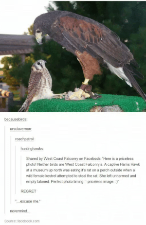 """Regretomg-humor.tumblr.com: becausebirds:  ursulavernon:  roachpatrol:  huntinghawks:  Shared by West Coast Falconry on Facebook: """"Here is a priceless  photo! Neither birds are West Coast Falconry's. A captive Harris Hawk  at a museum up north was eating it's rat on a perch outside when a  wild female kestrel attempted to steal the rat. She left unharmed and  empty taloned. Perfect photo timing = priceless image. :)""""  REGRET  excuse me.""""  nevermind...  Source: facebook.com Regretomg-humor.tumblr.com"""