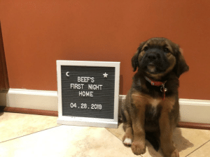 gingersofficial:  theyreoutofcontrol:  cindehella: BEEF Tell your boyfriend if he says he's got Beef That I will be stopping by later to pet him    Me after stopping by later to pet him : BEEF'S  FIRST NIGHT  HOME  04.28.2019 gingersofficial:  theyreoutofcontrol:  cindehella: BEEF Tell your boyfriend if he says he's got Beef That I will be stopping by later to pet him    Me after stopping by later to pet him