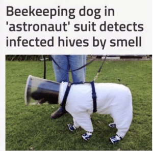 I Bet, Smell, and Tumblr: Beekeeping dog in  astronaut' suit detects  infected hives bv smell babyanimalgifs:Don't care what his job is I bet he's perfect at it.