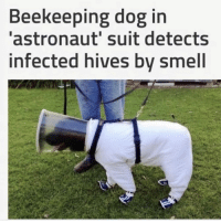 I Bet, Memes, and Smell: Beekeeping dog in  astronaut' suit detects  infected hives by smell Don't care what his job is I bet he's perfect at it.