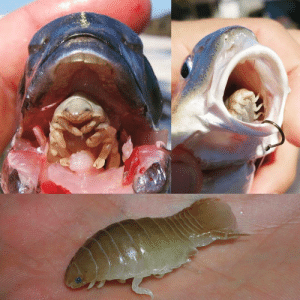beerhouse:  unsettlingstories:  Cymothoa exigua, a parasite that eats and replaces a fish's tongue.I kinda want to see a person get one of those and go down on someone.  The parasite detaches and nestles into its new home, someone's clitoral hood: beerhouse:  unsettlingstories:  Cymothoa exigua, a parasite that eats and replaces a fish's tongue.I kinda want to see a person get one of those and go down on someone.  The parasite detaches and nestles into its new home, someone's clitoral hood