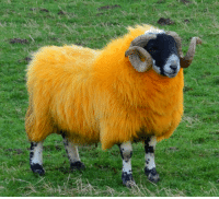 beetlebongos: softwaring: A sheep dyed orange in Glen Quaich. Sheep are dyed orange to highlight their black faces for judging at Agricultural shows.  Sweet potato  : beetlebongos: softwaring: A sheep dyed orange in Glen Quaich. Sheep are dyed orange to highlight their black faces for judging at Agricultural shows.  Sweet potato
