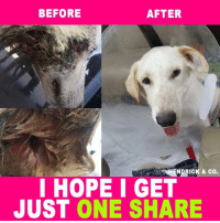 Bones, Facts, and Memes: BEFORE  AFTER  ESHENDRICK & co.  I HOPE I GET  JUST ONE SHARE Sully has left Rescue Dogs Rock's NY vet partner and is on his way to his foster home! It was determined that Sully cannot have jaw surgery because the bone has healed due to his injury being old. He has a lot of scar tissue that has built up around the jaw area and that is the reason he cannot open his mouth fully.   Further testing has been done on the jaw area for a bacterial infection due to the fact that the area is not healing like it should be. We are waiting on the results   We can't wait to update everyone on pics of Sully in his foster home!