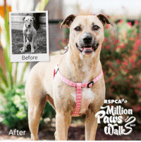 Memes, 🤖, and Skins: Before  After  RSPCA  illion  da  2017 I'm Tilly. Like a lot of animals who come to the RSPCA, I was badly neglected by my previous owners.   They often forgot to feed or bathe me. I never knew when my next meal would be and I never saw the vet. I also developed a painful skin condition called mange. If you met me then, you'd have hardly recognised me.   The RSPCA worked hard to give me the best care possible. My skin was treated, and I was put on a special diet to help restore my weight.   My recovery was only possible with your support. Will you join me and walk to fight animal cruelty in 2017?   Register for the Million Paws Walk now: https://goo.gl/4dWRCf