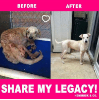 Finals, Life, and Love: BEFORE  AFTER  SHARE MY LEGACY!  HENDRICK & Co. [UPDATE] Another Amazing Transformation  ❤️ Rubia is doing amazing in her loving foster home. Far Far away from the horrific life she once knew and endured. Now she is finally healthy happy and at peace. She has looked beyond her past and has forgiven. She loves all humans, big or small and loves other dogs. She's a 1 year old lab mix and 45lbs. She's looking for her forever home! If interested apply here at Rescue Dogs Rock NYC