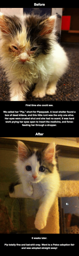 """advice-animal:  Rescued Kitty Initially Blind From Eye Infection, Recovers Sighthttp://advice-animal.tumblr.com/: Before  First time she could see.  We called her """"Pip,"""" short for Pipsqueak. A local shelter found a  box of dead kittens, and this llttle runt was the only one allve.  Her eyes were crusted shut and she had no scent. It was hard  work prying her eyes open to insert the medicine, and force-  feeding her through a dropper.  After  6 weeks later.  Pip totally fine and bat-shit cray. Went to a Petco adoption falr  and was adopted stralght away! advice-animal:  Rescued Kitty Initially Blind From Eye Infection, Recovers Sighthttp://advice-animal.tumblr.com/"""