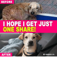 Dogs, Finals, and Life: BEFORE  I HOPE I GET JUST  ONE SHARE!  AFTER  Of HENDRICK & CO. [UPDATE] Another Amazing Transformation  ❤️ Rubia is doing amazing in her loving foster home. Far Far away from the horrific life she once knew and endured. Now she is finally healthy happy and at peace. She has looked beyond her past and has forgiven. She loves all humans, big or small and loves other dogs. She's a 1 year old lab mix and 45lbs. She's looking for her forever home! If interested apply here at Rescue Dogs Rock NYC