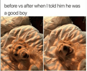 Animals, Dogs, and Memes: before vs after when I told him he was  a good boy Dog Memes Of The Day 30 Pics – Ep53 #animalmemes #dogmemes #memes #dogs - Lovely Animals World