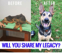 Memes, Transformers, and Legacy: BEFORE  WILL YOU SHARE MY LEGACY? Please please please take some time today to see this incredible transformation from our amazing partner Rescue Dogs Rock. I mean, can you even tell its the same dog?! Thats how unbelievable Apache's transformation has been. This is why we work with Rescue Dogs Rock and why I love their team so much.   Apache is ready for his forever home. KID CAT DOG Friendly. Apache is a one year old Doby Shep mix and 50 lbs. He is very well mannered , gentle and sweet. He's ready to find his forever home just in time for the holidays! Apply here for Apache : Http://rescuedogsrocknyc.org/