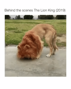 Who would've thought lions are so friendly.🐶❤ via @lunaticthegolden, song by @eliseecklund #animals #animallovers #dogs #doglovers #puppy #puppies #lovelyanimalsworld: Behind the scenes The Lion King (2019) Who would've thought lions are so friendly.🐶❤ via @lunaticthegolden, song by @eliseecklund #animals #animallovers #dogs #doglovers #puppy #puppies #lovelyanimalsworld