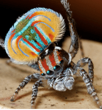 Complex, Memes, and Spider: Behold the amazingly vivid colors of the peacock spider, Maratus volans of Australia. Despite being only a few millimeters in length, the males of this species perform a remarkable, visually complex courtship dance to win over the heart of their female counterparts. colors spider courtship 📷 Jürgen Otto