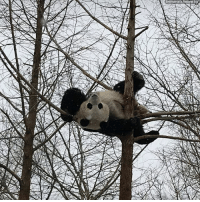 Memes, Panda, and Snow: Bei Bei the panda enjoyed hanging around in the snow yesterday at the @smithsonianzoo.