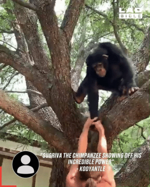"I had no idea chimpanzees were so strong 😳💪: BELE  SUGRIVA THE CHIMPANZEE SHOWING OFE HIS  INCREDIBLE POWER""  KODYANTLE I had no idea chimpanzees were so strong 😳💪"