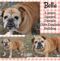 Dogs, Memes, and Puppies: Bella  6 years  Spayed  Female  Olde English  Bulldog  HUMANE  SOCIETY All dogs/puppies in our shelter can be viewed here.  Any dog not being held as a stray is available for immediate, same-day adoption! Adoption applications are reviewed on site. Please share our dogs and help get them out of the shelter as quickly as possible!  **PLEASE NOTE**  Placing an application on a dog featured in this album does NOT hold the dog for you.  All available dogs are available to be met and adopted same day if already altered.  If not altered, the dog can be met and paid for in order to hold the dog for you.  Thank you for your understanding!