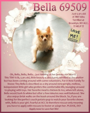 **FOSTER or ADOPTER NEEDED ASAP** Oh, Bella, Bella, Bella... just looking at her breaks our hearts... This TINY 6 lb, 5 yrs old, little beauty is absolutely terrified at the shelter but has been coming around with some volunteers. For A New Family To Know: Tiny Bella is described as a shy around new people, mellow, independent little girl who prefers the comfortable life, lounging around to playing with toys. Her favorite meal is chicken & rice, when left alone, Bella would bark & whine but after a few minutes was well-behaved. She also enjoys walks on the leash around the block. So, if you are looking for the perfect couch potato pup to watch your favorite shows with, Bella is your girl. Fearful at ACC & therefore rescue-only meaning you have to apply with rescues to foster or adopt her. PLEASE, DO! Apply now to save her life!   ✔Pledge✔Tag✔Share✔FOSTER✔ADOPT✔Save a life!  Bella 69509  Small Mixed Breed Sex female Age 5 yrs (approx.) - 6 lbs  My health has been checked.  My vaccinations are up to date. My worming is up to date.  I have been micro-chipped.   I am waiting for you at the Brooklyn, NY ACC. Please, Please, Please, save me!  ******************************************** *** TO FOSTER OR ADOPT ***   To FOSTER or ADOPT, To SAVE her LIFE, SPEAK UP NOW & apply with rescues OR message Must Love Dogs - Saving NYC Dogs OR or email MustLoveDogsNYC@gmail.com IMMEDIATELY!!!!   The general rule is to foster you have to be within 4 hours of the NYC ACC approved New Hope partner rescues you are applying with and to adopt you will have to be in the general NE US area; NY, NJ, CT, PA, DC, MD, DE, NH, RI, MA, VT & ME (some rescues will transport to VA).  ===========================  NOTE: WE HAVE NO OTHER INFORMATION THAN WHAT IS LISTED WITH THIS FLYER.  This animal came from: Breeder  Basic Information: Previously lived with: 2 Adults, 5 Children How is this dog around strangers? When a stranger would come to the owners home, Bella would hard bark, growl and lunge towards the person How is this dog around children? Bella lived in a household with 5 children ages 5, 8, 10, 12 and 13. She had snapped several times at the children How is this dog around other dogs? Owner did not have any other dogs in the home so behavior is unknown. When taking Bella for a walk outside and she would see other dogs outside, Bella would not pay attention to them and keep walking. How is this dog around cats? Bella has never been around any cats so behavior is unknown Resource guarding: Bella will bark and growl when someone approaches her food, treats or toys Bite history: Details unknown. Energy level/descriptors: Low Other Notes: Bella will bark and growl when the owner would push her off furniture, being held/restrained, being disturbed while sleeping or being given a bath. When an unfamiliar person would approach the owners home, she would bark. Owner has never tried to bathe Bella or trim her nails so behavior is unknown  Has this dog ever had any medical issues? No  Medical Notes Bella does not have any known medical concerns  For A New Family To Know:  Tiny Bella is described as a shy around new people, mellow, independent little girl who prefers the comfortable life, lounging around to playing with toys. Her favorite meal is chicken & rice, when left alone, Bella would bark & whine but after a few minutes was well-behaved. She also enjoys brisk walks on the leash around the block. So, if you are looking for the perfect couch potato pup to watch your favorite shows with, Bella is your girl.   BEHAVIOR AT SHELTER:: Bella was at the back of her kennel growling and baring her teeth when I opened her kennel. She was difficult to leash as she would lunge, snap, and dodge when I attempted to leash her. If I was able to place the loop on her, she would thrash her body until it slid off her. I was able to successfully leash her but Bella ran to the back of the kennel again. I bent down and spoke to her softly and she slowly walked to the front and climbed into my lap.   She was trembling with whale eyes and I did not make an attempt to pick her up. She slid down my lap and walked quickly outside. I brought her to the assessment room due to the extreme heat. Once in the room, I attached a drag leash and she explored the room. I sat on the floor and she ran over and jumped into my lap and laid down. Another CBS came into the room and sat next to me. Bella sniffed the CBS from a distance and the CBS offered Bella her hand and she froze. The CBS slowly pulled the hand away and Bella bared her teeth and started to slowly walk forward with a stiff body. The session was ended and Bella was returned to her kennel without issue  DVM Intake Exam Estimated age: ~ 5 years Microchip noted on Intake? No Subjective: BARH. No csvd Observed Behavior - Nervous and tense, attempting to bite when approached, muzzled as a precaution. Resisted all handling. Front left limb lameness/knuckling noted  Evidence of Cruelty seen - no Evidence of Trauma seen - no Objective  P = wnl R = wnl BCS 5/9 EENT: Eyes clear, ears clean, no nasal or ocular discharge noted Oral Exam: adult dentition, unable to visualize due to muzzle PLN: No enlargements noted H/L: No murmurs or arrythmias ausculted. CRT < 2, Lungs clear, eupnic ABD: Tense, non painful, no masses palpated U/G: FS, spay scar noted, no discharge MSI: Ambulatory x 4, noted to intermittently hold up LFL, knuckling noted as well, no ectoparasites noted, no masses noted, healthy hair coat. Difficult to assess pain due to P temperament.  CNS: Mentation appropriate - no signs of neurologic abnormalities Rectal: normal externally  Assessment: FRL lameness/knuckling   Prognosis:  Good   Plan:  Continue to monitor at BACC Recommend sedated radiographs   SURGERY: Already spayed  ************************************** RE: ACC site Just because a dog is not on the ACC site does NOT necessarily mean safe. There are many reasons for this like a hold or an eval has not been conducted yet or the dog is rescue-only... the list goes on... Please, do share & apply to foster/adopt these pups as well until their thread is updated with their most current status. TY! ****************************************** About Must Love Dogs - Saving NYC Dogs: We are a group of advocates (NOT a shelter NOR a rescue group) dedicated to finding loving homes for NYC dogs in desperate need. ALL the dogs on our site need Rescue, Fosters, or Adopters & that ASAP as they are in NYC high-kill shelters. If you cannot foster or adopt, please share them far & wide. Thank you for caring!! <3 ****************************************** RESCUES: * Indicates New Hope Rescue partner is accepting applications for fosters and/or adopters. http://www.nycacc.org/get-involved/new-hope/nhpartners ****************************************** Beamer Maximillian Caro Hocker Carolin Hocker Stephanie Petofi Stacey Christoforidis Stacey Silverstein Michelle Neufeld Montak Suzanne Dixie Pomeranian and Small Breed Rescue (PSBR): Bella 69509  Just 5 yrs old  A TINY 6lbs  Terrified at  Brooklyn. NY AcC.  HELP!!  SAVE  ME!  pleease  Oh, Bella, Bella, Bella... just looking at her breaks our hearts...  This TINY 6 lb, 5 yrs old, little beauty is absolutely terrified at the shelter  but has been coming around with some volunteers. For A New Family To  Know: Tiny Bella is described as a shy around new people, mellow,  independent little girl who prefers the comfortable life, lounging around  to playing with toys. Her favorite meal is chicken & rice, when left alone,  Bella would bark & whine but after a few minutes was well-behaved. She  also enjoys brisk walks on the leash around the block. So, if you are  looking for the perfect couch potato pup to watch your favorite shows  with, Bella is your girl. Fearful at ACC & therefore rescue-only meaning  you have to apply with rescues to foster or adopt her. PLEASE, DO!  Apply now to save her life!  C **FOSTER or ADOPTER NEEDED ASAP** Oh, Bella, Bella, Bella... just looking at her breaks our hearts... This TINY 6 lb, 5 yrs old, little beauty is absolutely terrified at the shelter but has been coming around with some volunteers. For A New Family To Know: Tiny Bella is described as a shy around new people, mellow, independent little girl who prefers the comfortable life, lounging around to playing with toys. Her favorite meal is chicken & rice, when left alone, Bella would bark & whine but after a few minutes was well-behaved. She also enjoys walks on the leash around the block. So, if you are looking for the perfect couch potato pup to watch your favorite shows with, Bella is your girl. Fearful at ACC & therefore rescue-only meaning you have to apply with rescues to foster or adopt her. PLEASE, DO! Apply now to save her life!   ✔Pledge✔Tag✔Share✔FOSTER✔ADOPT✔Save a life!  Bella 69509  Small Mixed Breed Sex female Age 5 yrs (approx.) - 6 lbs  My health has been checked.  My vaccinations are up to date. My worming is up to date.  I have been micro-chipped.   I am waiting for you at the Brooklyn, NY ACC. Please, Please, Please, save me!  ******************************************** *** TO FOSTER OR ADOPT ***   To FOSTER or ADOPT, To SAVE her LIFE, SPEAK UP NOW & apply with rescues OR message Must Love Dogs - Saving NYC Dogs OR or email MustLoveDogsNYC@gmail.com IMMEDIATELY!!!!   The general rule is to foster you have to be within 4 hours of the NYC ACC approved New Hope partner rescues you are applying with and to adopt you will have to be in the general NE US area; NY, NJ, CT, PA, DC, MD, DE, NH, RI, MA, VT & ME (some rescues will transport to VA).  ===========================  NOTE: WE HAVE NO OTHER INFORMATION THAN WHAT IS LISTED WITH THIS FLYER.  This animal came from: Breeder  Basic Information: Previously lived with: 2 Adults, 5 Children How is this dog around strangers? When a stranger would come to the owners home, Bella would hard bark, growl and lunge towards the person How is this dog around children? Bella lived in a household with 5 children ages 5, 8, 10, 12 and 13. She had snapped several times at the children How is this dog around other dogs? Owner did not have any other dogs in the home so behavior is unknown. When taking Bella for a walk outside and she would see other dogs outside, Bella would not pay attention to them and keep walking. How is this dog around cats? Bella has never been around any cats so behavior is unknown Resource guarding: Bella will bark and growl when someone approaches her food, treats or toys Bite history: Details unknown. Energy level/descriptors: Low Other Notes: Bella will bark and growl when the owner would push her off furniture, being held/restrained, being disturbed while sleeping or being given a bath. When an unfamiliar person would approach the owners home, she would bark. Owner has never tried to bathe Bella or trim her nails so behavior is unknown  Has this dog ever had any medical issues? No  Medical Notes Bella does not have any known medical concerns  For A New Family To Know:  Tiny Bella is described as a shy around new people, mellow, independent little girl who prefers the comfortable life, lounging around to playing with toys. Her favorite meal is chicken & rice, when left alone, Bella would bark & whine but after a few minutes was well-behaved. She also enjoys brisk walks on the leash around the block. So, if you are looking for the perfect couch potato pup to watch your favorite shows with, Bella is your girl.   BEHAVIOR AT SHELTER:: Bella was at the back of her kennel growling and baring her teeth when I opened her kennel. She was difficult to leash as she would lunge, snap, and dodge when I attempted to leash her. If I was able to place the loop on her, she would thrash her body until it slid off her. I was able to successfully leash her but Bella ran to the back of the kennel again. I bent down and spoke to her softly and she slowly walked to the front and climbed into my lap.   She was trembling with whale eyes and I did not make an attempt to pick her up. She slid down my lap and walked quickly outside. I brought her to the assessment room due to the extreme heat. Once in the room, I attached a drag leash and she explored the room. I sat on the floor and she ran over and jumped into my lap and laid down. Another CBS came into the room and sat next to me. Bella sniffed the CBS from a distance and the CBS offered Bella her hand and she froze. The CBS slowly pulled the hand away and Bella bared her teeth and started to slowly walk forward with a stiff body. The session was ended and Bella was returned to her kennel without issue  DVM Intake Exam Estimated age: ~ 5 years Microchip noted on Intake? No Subjective: BARH. No csvd Observed Behavior - Nervous and tense, attempting to bite when approached, muzzled as a precaution. Resisted all handling. Front left limb lameness/knuckling noted  Evidence of Cruelty seen - no Evidence of Trauma seen - no Objective  P = wnl R = wnl BCS 5/9 EENT: Eyes clear, ears clean, no nasal or ocular discharge noted Oral Exam: adult dentition, unable to visualize due to muzzle PLN: No enlargements noted H/L: No murmurs or arrythmias ausculted. CRT < 2, Lungs clear, eupnic ABD: Tense, non painful, no masses palpated U/G: FS, spay scar noted, no discharge MSI: Ambulatory x 4, noted to intermittently hold up LFL, knuckling noted as well, no ectoparasites noted, no masses noted, healthy hair coat. Difficult to assess pain due to P temperament.  CNS: Mentation appropriate - no signs of neurologic abnormalities Rectal: normal externally  Assessment: FRL lameness/knuckling   Prognosis:  Good   Plan:  Continue to monitor at BACC Recommend sedated radiographs   SURGERY: Already spayed  ************************************** RE: ACC site Just because a dog is not on the ACC site does NOT necessarily mean safe. There are many reasons for this like a hold or an eval has not been conducted yet or the dog is rescue-only... the list goes on... Please, do share & apply to foster/adopt these pups as well until their thread is updated with their most current status. TY! ****************************************** About Must Love Dogs - Saving NYC Dogs: We are a group of advocates (NOT a shelter NOR a rescue group) dedicated to finding loving homes for NYC dogs in desperate need. ALL the dogs on our site need Rescue, Fosters, or Adopters & that ASAP as they are in NYC high-kill shelters. If you cannot foster or adopt, please share them far & wide. Thank you for caring!! <3 ****************************************** RESCUES: * Indicates New Hope Rescue partner is accepting applications for fosters and/or adopters. http://www.nycacc.org/get-involved/new-hope/nhpartners ****************************************** Beamer Maximillian Caro Hocker Carolin Hocker Stephanie Petofi Stacey Christoforidis Stacey Silverstein Michelle Neufeld Montak Suzanne Dixie Pomeranian and Small Breed Rescue (PSBR)
