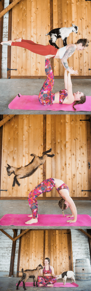 Instagram, Tumblr, and youtube.com: bellabucchiotti:  Goat Yoga is exactly what is sounds like – Yoga with Goats!     I recently tried goat yoga at Maan Farms in Abbotsford  and it was really, really fun! Not only do you get to hang out with  adorable baby goats and older goats..but it is also such a great  workout.  READ MORE HERE about my goat yoga experience.  You can also follow Bella Bucchiotti on Instagram and YouTube!!