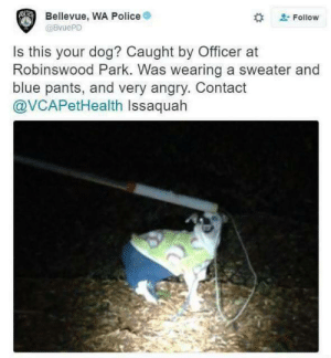 Lost dog: Bellevue, WA Police  @BvuePD  Follow  Is this your dog? Caught by Officer at  Robinswood Park. Was wearing a sweater and  blue pants, and very angry. Contact  @VCAPetHealth Issaquah Lost dog