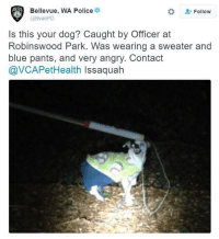 bellevue: Bellevue, WA Police  Follow  Is this your dog? Caught by Officer at  Robinswood Park. Was wearing a sweater and  blue pants, and very angry. Contact  @VCAPet Health Issaquah