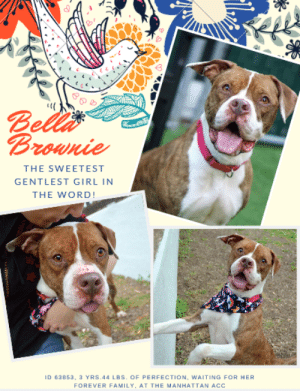 "TO BE KILLED 7/20/19  NOTE: BELLA BROWNIE IS NKA LUNA  The gentlest, most affectionate girl you could possibly imagine, waits for you at the Manhattan ACC. A volunteer writes: ""Super cutie alert!!! Perfect markings and adorable freckles aside, tiny Bella Brownie is the gentlest, most affectionate pet you could imagine, and she's not-so-secretly yearning for a new family to love. Bella adores us humans and even gives strangers the VIP treatment, approaching everyone who crosses her path with a wagging tail and a heart full of hope. She is 'friendly', 'welcoming' and 'highly social' and she'd make a wonderful childhood companion for adventures and cuddle time--the more folks to love, the better! A good little leash walker, Bella Brownie's just as sweet as her name, and she'd fit into almost any home with ease. Visit our Manhattan Care Center to claim your lifetime supply of snuggles today!"" Hurry and Message our page or email us at MustLoveDogsNYC@gmail.com for assistance fostering or adopting this slice of heaven.  BELLA BROWNIE aka LUNA, ID# 63853, 3-5 yrs old, 44.8 lbs, Unaltered Female Manhattan ACC, Large Mixed Breed, Brown Brindle / White  Adoption Return Owner Surrender Reason: Luna bit another dog in the building Shelter Assessment Rating: NEW HOPE ONLY  Medical Behavior Rating:   BEHAVIOR NOTES   Means of surrender (length of time in previous home): Owner Surrender (In home for one month) Previously lived with: Adults Behavior toward strangers: Friendly, outgoing, relaxed, respectful and playful Behavior toward children: Friendly and outgoing Behavior toward dogs: When sees them outside, yelps and pulls towards them Resource guarding: None reported Bite history: Yes, Luna bit another dog in the building. Luna was brought up to the other dog to greet him and she bit his face, leaving punctures. Housetrained: Yes Energy level/descriptors: Bella Brownie is described as friendly, affectionate, playful, and respectful with a high level of activity.  INTAKE BEHAVIOR: Date of intake: 8-Jul-2019 Summary: Loose body, allowed handling  MEDICAL BEHAVIOR: Date of initial: 12-Jul-2019 Summary: Bit tense, allowed handling  ENERGY LEVEL: Bella Brownie is described as having a high level of activity. We recommend long-lasting chews, food puzzles, and hide-and-seek games, in additional to physical exercise, to positively direct her energy and enthusiasm.  IN SHELTER OBSERVATIONS: Bella Brownie is taking part in Nose Games at the care center. She is learning to 'find it', currently watching handlers place the treats into boxes on ground level and with the openings facing up or out. She can 'find it' when she watches the handlers place the treats.   BEHAVIOR DETERMINATION: New Hope Only Behavior Asilomar TM - Treatable-Manageable  Recommendations: Place with a New Hope partner  Recommendations comments: Place with a New Hope partner: Bella Brownie bit a dog she was introduced to on leash, leaving punctures on the dog's face. We recommend recommend placement with a New Hope partner who can provide any necessary behavior modification (force-free, positive reinforcement-based) and re-evaluate behavior in a stable home environment before placement into a permanent home.   Potential challenges:  Bite history (dog) On-leash reactivity/barrier frustration  Potential challenges comments:  Bite history (dog): Bella Brownie bit another dog in the building. Bella Brownie was brought up to the other dog to greet him and she bit his face, leaving punctures. Please see handout on Bite History.   On-leash reactivity/barrier frustration: Bella Brownie is reported to whine and pull towards dogs she sees on walks. Please see handout on On-leash reactivity/barrier frustration.  MEDICAL EXAM NOTES   12-Jul-2019  DVM Intake Exam Estimated age: 5 yrs. Prev exam states 5-7 but age 3 on details page Microchip noted on Intake? n Microchip Number (If Applicable): n History : Here in January 2019 [CORRECTION: May 2019]. Adopted. Retrned. DOH hold. Subjective: BAR, euhydrated, MM pink/moist, CRT Observed Behavior: slightly tense but allowed exam Evidence of Cruelty seen -n Evidence of Trauma seen -n Objective T = - P = wnl R = wnl EENT: Eyes clear OU; ears cln, no ocular or nasal discharge; no oral masses or ulcerations seen Oral Exam: Calculus (3/5) on canines; otherwise mild staining and wear PLN: No enlargements noted H/L: No murmurs or arrhythmias; strong, synchronous femoral pulses bilaterally; Eupneic; normal BVS sounds  ABD: Non painful, no masses palpated U/G: FS - spay incision healed well - no vulvar discharge  MSI: Ambulatory x 4 with no lameness, skin free of parasites, no masses noted, healthy hair coat CNS: Appropriate mentation; no cranial nerve deficits; no proprioceptive deficits; no ataxia Rectal: externally normal Assessment: Healthy  Changed age from 3 to 5 y Plan intake - need DHPP booster and others, no RV - already done in Jan Already spayed  8-Jul-2019  LVT Intake Exam Evidence of Cruelty: none seen Observed Behavior: BAR, wags tail, greets whoever approaches. Mindful of surroundings, easily distracted Sex: Female, spay site healing nicely Estimated Age: adult Subjective: adopted from MACC in May 2019. Surrendered due to dog on dog reactivity. Eyes: clear OU, NSF Ears: clear AU, NSF Oral Exam: moderate tartar on canines, premolars and molars Abdomen: shaved abdomen from recent spay. Spay site appears to be healing normally Musculoskeletal: amb x 4 Mentation: BAR Plan: DA2PP given. UTD on all other vaccines.   -------------------------------------------------------------  NOTES FIRST STAY / Intake: 5/24/2019  BELLA BROWNIE, ID# 63853, 3-5 yrs old, 44.8 lbs, Unaltered Female Manhattan ACC, Large Mixed Breed, Brown Brindle / White  Owner Surrender Reason:  Shelter Assessment Rating: LEVEL 1 (the best) Medical Behavior Rating: 1. Green  BEHAVIOR NOTES   SAFER ASSESSMENT: Date of assessment: 26-May-2019  Summary:  Leash Walking Strength and pulling: Light Reactivity to humans: None Reactivity to dogs: None Leash walking comments: None  Sociability Loose in room (15-20 seconds): Highly social Call over: Approaches readily Sociability comments: Body soft, stays by assessor  Handling  Soft handling: Seeks contact Exuberant handling: Seeks contact Handling comments: Body soft, leans into pets  Arousal Jog: Follows (loose) Arousal comments: None  Knock: Approaches (loose) Knock Comments: None  Toy: No response Toy comments: None  PLAYGROUP NOTES - DOG TO DOG SUMMARIES:  5/25: When introduced off leash to a male dog, Bella Brownie allows polite greeting but keeps mostly to herself.   5/26: Bella Brownie keeps to self.  5/27-28: Bella Brownie is anxious and seeks exit.  6/1: Bella Brownie is soft and social with male and female dogs today. She does not engage in play but follows the dogs around with loose body and wagging tail.   6/4: Bella Brownie greets male dogs politely today but offers correction for exuberant play during Wellness Wing playgroup.   MEDICAL EXAM NOTES   22-Jun-2019  Spay/Neuter Summary Pre-surgical exam, anesthesia, and surgery performed by ASPCA. Green linear tattoo placed lateral to incision. Start 1 tablet carprofen 100 mg sid po x 4 days as pain management.  1-Jun-2019  Progress Exam S/O pt BAR EENT – moderate clear serous nasal dis-charge, no ocular discharge, mild nasal congestion and sniffling  Assessment - Suspected CIRDC ""typical kennel cough"" Plan - + Move to isolation + Enrofloxacin 10 mg/kg SID for 14 days  + Cerenia 2mg/kg PO SID for 4 days  + Proviable x 5 days SID PO + Recheck in 7 days for resolvement and return to general population  PROGNOSIS EXCELLENT   29-May-2019  Progress Exam sfd shadowing Weltz S: Observed to have liquid diarrhea in run, BAR, euhydrated O: CV: Pink mm, crt < 2 sec, strong and synchronous pulses, no murmurs noted on auscultation Resp: clear lung sounds bilaterally, normal respiratory rate and effort EENT: no nasal or ocular discharge GI: soft, non-painful abdomen on palpation A: diarrhea - stress colitis vs. dietary indiscretion vs. parasitic vs. other P:  Metronidazole 15mg/kg bid x 14 days Probiotic 1 capsule sid x 7 days Wet I/D food twice daily x 7 days Recheck diarrhea 3 days  25-May-2019  DVM Intake Exam Estimated age: 5-7 Microchip noted on Intake? n Microchip Number (If Applicable): n History: Stray Subjective: BAR, euhydrated, MM pink/moist, CRT Observed Behavior: loose body; allowed for full PE  Evidence of Cruelty seen -n Evidence of Trauma seen -n Objective T = - P = wnl R = wnl EENT: Anterior chambers clear OU; no corneal defects; no ocular or nasal discharge; no oral masses or ulcerations seen Oral Exam: Calculus (3/5) on canines; teeth in good cond  PLN: No enlargements noted H/L: No murmurs or arrhythmias; strong, synchronous femoral pulses bilaterally; Eupneic; normal bronchovesicular sounds in all fields; no crackles/wheezes ABD: Non painful, no masses palpated U/G: Intact female - no vulvar discharge  MSI: Prominent mammary glands - BCS 3.75/9 ; Ambulatory x 4 with no lameness, skin free of parasites, no masses noted, healthy hair coat CNS: Appropriate mentation; no cranial nerve deficits; no proprioceptive deficits; no ataxia Rectal: externally normal Assessment: Healthy  SURGERY: Okay for surgery  Prognosis: Excellent   *** TO FOSTER OR ADOPT ***  BELLA BROWNIE IS RESCUE ONLY. You must fill out applications with New Hope Rescues to foster or adopt him. She cannot be reserved online at the ACC ARL, nor can he be direct adopted at the shelter. PLEASE HURRY AND MESSAGE OUR PAGE FOR ASSISTANCE!   PLEASE NOTE: You MUST live in NY, NJ, PA, CT, RI, DE, MD, MA, NH, VT, ME or Northern VA. You will need to fill out applications with a New Hope Rescue Partner to foster or adopt a NYC ACC dog. Transport is available if you live within the prescribed range of states.  Shelter contact information: Phone number (212) 788-4000 Email adopt@nycacc.org  Shelter Addresses: Brooklyn Shelter: 2336 Linden Boulevard Brooklyn, NY 11208 Manhattan Shelter: 326 East 110 St. New York, NY 10029 Staten Island Shelter: 3139 Veterans Road West Staten Island, NY 10309  *** NEW NYC ACC RATING SYSTEM ***  New Hope Rescue Only  Dog is not publicly adoptable. Prospective fosters or adopters need to fill out applications with New Hope Partner Rescues to save this dog.: Bellis  Brownie  THE SWEETEST  GENTLEST GIRL IN  THE WORD!  ID 63853, a YRS.44 LBS. OF PERFECTION, WAITING FOR HER  FOREVER FAMILY, AT THE MANHATTAN ACC TO BE KILLED 7/20/19  NOTE: BELLA BROWNIE IS NKA LUNA  The gentlest, most affectionate girl you could possibly imagine, waits for you at the Manhattan ACC. A volunteer writes: ""Super cutie alert!!! Perfect markings and adorable freckles aside, tiny Bella Brownie is the gentlest, most affectionate pet you could imagine, and she's not-so-secretly yearning for a new family to love. Bella adores us humans and even gives strangers the VIP treatment, approaching everyone who crosses her path with a wagging tail and a heart full of hope. She is 'friendly', 'welcoming' and 'highly social' and she'd make a wonderful childhood companion for adventures and cuddle time--the more folks to love, the better! A good little leash walker, Bella Brownie's just as sweet as her name, and she'd fit into almost any home with ease. Visit our Manhattan Care Center to claim your lifetime supply of snuggles today!"" Hurry and Message our page or email us at MustLoveDogsNYC@gmail.com for assistance fostering or adopting this slice of heaven.  BELLA BROWNIE aka LUNA, ID# 63853, 3-5 yrs old, 44.8 lbs, Unaltered Female Manhattan ACC, Large Mixed Breed, Brown Brindle / White  Adoption Return Owner Surrender Reason: Luna bit another dog in the building Shelter Assessment Rating: NEW HOPE ONLY  Medical Behavior Rating:   BEHAVIOR NOTES   Means of surrender (length of time in previous home): Owner Surrender (In home for one month) Previously lived with: Adults Behavior toward strangers: Friendly, outgoing, relaxed, respectful and playful Behavior toward children: Friendly and outgoing Behavior toward dogs: When sees them outside, yelps and pulls towards them Resource guarding: None reported Bite history: Yes, Luna bit another dog in the building. Luna was brought up to the other dog to greet him and she bit his face, leaving punctures. Housetrained: Yes Energy level/descriptors: Bella Brownie is described as friendly, affectionate, playful, and respectful with a high level of activity.  INTAKE BEHAVIOR: Date of intake: 8-Jul-2019 Summary: Loose body, allowed handling  MEDICAL BEHAVIOR: Date of initial: 12-Jul-2019 Summary: Bit tense, allowed handling  ENERGY LEVEL: Bella Brownie is described as having a high level of activity. We recommend long-lasting chews, food puzzles, and hide-and-seek games, in additional to physical exercise, to positively direct her energy and enthusiasm.  IN SHELTER OBSERVATIONS: Bella Brownie is taking part in Nose Games at the care center. She is learning to 'find it', currently watching handlers place the treats into boxes on ground level and with the openings facing up or out. She can 'find it' when she watches the handlers place the treats.   BEHAVIOR DETERMINATION: New Hope Only Behavior Asilomar TM - Treatable-Manageable  Recommendations: Place with a New Hope partner  Recommendations comments: Place with a New Hope partner: Bella Brownie bit a dog she was introduced to on leash, leaving punctures on the dog's face. We recommend recommend placement with a New Hope partner who can provide any necessary behavior modification (force-free, positive reinforcement-based) and re-evaluate behavior in a stable home environment before placement into a permanent home.   Potential challenges:  Bite history (dog) On-leash reactivity/barrier frustration  Potential challenges comments:  Bite history (dog): Bella Brownie bit another dog in the building. Bella Brownie was brought up to the other dog to greet him and she bit his face, leaving punctures. Please see handout on Bite History.   On-leash reactivity/barrier frustration: Bella Brownie is reported to whine and pull towards dogs she sees on walks. Please see handout on On-leash reactivity/barrier frustration.  MEDICAL EXAM NOTES   12-Jul-2019  DVM Intake Exam Estimated age: 5 yrs. Prev exam states 5-7 but age 3 on details page Microchip noted on Intake? n Microchip Number (If Applicable): n History : Here in January 2019 [CORRECTION: May 2019]. Adopted. Retrned. DOH hold. Subjective: BAR, euhydrated, MM pink/moist, CRT Observed Behavior: slightly tense but allowed exam Evidence of Cruelty seen -n Evidence of Trauma seen -n Objective T = - P = wnl R = wnl EENT: Eyes clear OU; ears cln, no ocular or nasal discharge; no oral masses or ulcerations seen Oral Exam: Calculus (3/5) on canines; otherwise mild staining and wear PLN: No enlargements noted H/L: No murmurs or arrhythmias; strong, synchronous femoral pulses bilaterally; Eupneic; normal BVS sounds  ABD: Non painful, no masses palpated U/G: FS - spay incision healed well - no vulvar discharge  MSI: Ambulatory x 4 with no lameness, skin free of parasites, no masses noted, healthy hair coat CNS: Appropriate mentation; no cranial nerve deficits; no proprioceptive deficits; no ataxia Rectal: externally normal Assessment: Healthy  Changed age from 3 to 5 y Plan intake - need DHPP booster and others, no RV - already done in Jan Already spayed  8-Jul-2019  LVT Intake Exam Evidence of Cruelty: none seen Observed Behavior: BAR, wags tail, greets whoever approaches. Mindful of surroundings, easily distracted Sex: Female, spay site healing nicely Estimated Age: adult Subjective: adopted from MACC in May 2019. Surrendered due to dog on dog reactivity. Eyes: clear OU, NSF Ears: clear AU, NSF Oral Exam: moderate tartar on canines, premolars and molars Abdomen: shaved abdomen from recent spay. Spay site appears to be healing normally Musculoskeletal: amb x 4 Mentation: BAR Plan: DA2PP given. UTD on all other vaccines.   -------------------------------------------------------------  NOTES FIRST STAY / Intake: 5/24/2019  BELLA BROWNIE, ID# 63853, 3-5 yrs old, 44.8 lbs, Unaltered Female Manhattan ACC, Large Mixed Breed, Brown Brindle / White  Owner Surrender Reason:  Shelter Assessment Rating: LEVEL 1 (the best) Medical Behavior Rating: 1. Green  BEHAVIOR NOTES   SAFER ASSESSMENT: Date of assessment: 26-May-2019  Summary:  Leash Walking Strength and pulling: Light Reactivity to humans: None Reactivity to dogs: None Leash walking comments: None  Sociability Loose in room (15-20 seconds): Highly social Call over: Approaches readily Sociability comments: Body soft, stays by assessor  Handling  Soft handling: Seeks contact Exuberant handling: Seeks contact Handling comments: Body soft, leans into pets  Arousal Jog: Follows (loose) Arousal comments: None  Knock: Approaches (loose) Knock Comments: None  Toy: No response Toy comments: None  PLAYGROUP NOTES - DOG TO DOG SUMMARIES:  5/25: When introduced off leash to a male dog, Bella Brownie allows polite greeting but keeps mostly to herself.   5/26: Bella Brownie keeps to self.  5/27-28: Bella Brownie is anxious and seeks exit.  6/1: Bella Brownie is soft and social with male and female dogs today. She does not engage in play but follows the dogs around with loose body and wagging tail.   6/4: Bella Brownie greets male dogs politely today but offers correction for exuberant play during Wellness Wing playgroup.   MEDICAL EXAM NOTES   22-Jun-2019  Spay/Neuter Summary Pre-surgical exam, anesthesia, and surgery performed by ASPCA. Green linear tattoo placed lateral to incision. Start 1 tablet carprofen 100 mg sid po x 4 days as pain management.  1-Jun-2019  Progress Exam S/O pt BAR EENT – moderate clear serous nasal dis-charge, no ocular discharge, mild nasal congestion and sniffling  Assessment - Suspected CIRDC ""typical kennel cough"" Plan - + Move to isolation + Enrofloxacin 10 mg/kg SID for 14 days  + Cerenia 2mg/kg PO SID for 4 days  + Proviable x 5 days SID PO + Recheck in 7 days for resolvement and return to general population  PROGNOSIS EXCELLENT   29-May-2019  Progress Exam sfd shadowing Weltz S: Observed to have liquid diarrhea in run, BAR, euhydrated O: CV: Pink mm, crt < 2 sec, strong and synchronous pulses, no murmurs noted on auscultation Resp: clear lung sounds bilaterally, normal respiratory rate and effort EENT: no nasal or ocular discharge GI: soft, non-painful abdomen on palpation A: diarrhea - stress colitis vs. dietary indiscretion vs. parasitic vs. other P:  Metronidazole 15mg/kg bid x 14 days Probiotic 1 capsule sid x 7 days Wet I/D food twice daily x 7 days Recheck diarrhea 3 days  25-May-2019  DVM Intake Exam Estimated age: 5-7 Microchip noted on Intake? n Microchip Number (If Applicable): n History: Stray Subjective: BAR, euhydrated, MM pink/moist, CRT Observed Behavior: loose body; allowed for full PE  Evidence of Cruelty seen -n Evidence of Trauma seen -n Objective T = - P = wnl R = wnl EENT: Anterior chambers clear OU; no corneal defects; no ocular or nasal discharge; no oral masses or ulcerations seen Oral Exam: Calculus (3/5) on canines; teeth in good cond  PLN: No enlargements noted H/L: No murmurs or arrhythmias; strong, synchronous femoral pulses bilaterally; Eupneic; normal bronchovesicular sounds in all fields; no crackles/wheezes ABD: Non painful, no masses palpated U/G: Intact female - no vulvar discharge  MSI: Prominent mammary glands - BCS 3.75/9 ; Ambulatory x 4 with no lameness, skin free of parasites, no masses noted, healthy hair coat CNS: Appropriate mentation; no cranial nerve deficits; no proprioceptive deficits; no ataxia Rectal: externally normal Assessment: Healthy  SURGERY: Okay for surgery  Prognosis: Excellent   *** TO FOSTER OR ADOPT ***  BELLA BROWNIE IS RESCUE ONLY. You must fill out applications with New Hope Rescues to foster or adopt him. She cannot be reserved online at the ACC ARL, nor can he be direct adopted at the shelter. PLEASE HURRY AND MESSAGE OUR PAGE FOR ASSISTANCE!   PLEASE NOTE: You MUST live in NY, NJ, PA, CT, RI, DE, MD, MA, NH, VT, ME or Northern VA. You will need to fill out applications with a New Hope Rescue Partner to foster or adopt a NYC ACC dog. Transport is available if you live within the prescribed range of states.  Shelter contact information: Phone number (212) 788-4000 Email adopt@nycacc.org  Shelter Addresses: Brooklyn Shelter: 2336 Linden Boulevard Brooklyn, NY 11208 Manhattan Shelter: 326 East 110 St. New York, NY 10029 Staten Island Shelter: 3139 Veterans Road West Staten Island, NY 10309  *** NEW NYC ACC RATING SYSTEM ***  New Hope Rescue Only  Dog is not publicly adoptable. Prospective fosters or adopters need to fill out applications with New Hope Partner Rescues to save this dog."
