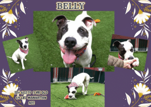 "Beer, Best Friend, and Children: BELLY  ID#6027913)YRS OLD  6LBS MANHATTAN  ACC TO BE KILLED 5/16/19  Check out Belly! This handsome friendly pupper needs a forever home!  Meet Belly! This cute dogo loves playing with other dogos! A volunteer writes: Belly has me under his spell! He did at our first encounter all the things a good dog does to please a person! He is a bit strong, though but I bet that a good harness will get him to stroll right at my pace. Belly has an award winning smile. That only won him my vote! He comes when called, sits at once on command, looking right in the eye of my camera to make sure I capture his beauty. Yes, he is gorgeous, immaculate and so well made! And he plays so well and excitedly with toys and balls although is never over the top! Another plus: Belly socializes nicely with his peers in playgroups. I so enjoy my time with Belly who has no beer belly but a perfect figure! Come and meet this awesome dog at the Manhattan Care Center and take him home as your forever best friend!  MY VIDEOS: Belly shakes paw https://youtu.be/w-Me0k5P1Qg  Belly and Rockstar in Playgroup  https://youtu.be/pgqt6LRIyrc  Belly is so much fun! https://youtu.be/e6Ik15XIUiI  BELLY, ID# 60279, 3 yrs old, 64 lbs, Manhattan Animal Care Center, Large Mixed Breed Cross, White / Black Male,  Stray ~ Brought in by a friend of his owner  Shelter Assessment Rating: LEVEL 3 No children (under 13) Recommend no dog parks Medical Behavior Rating: Blue   BEHAVIOR NOTES   Means of surrender (length of time in previous home): Stray (information from friend of the owner) Previously lived with: An adult Behavior toward dogs: Reactive towards some small dogs Other Notes: Belly is reactive to humans showing any threat of aggression, like pointing something at him, readying to swing something at or strike him  SHELTER ASSESSMENT SUMMARIES - Date of assessment: 21-Apr-2019  Summary:  Leash Walking Strength and pulling: Very hard Reactivity to humans: None Reactivity to dogs: None Leash walking comments: None  Sociability Loose in room (15-20 seconds): Moderately social Call over: Approaches with coaxing Sociability comments: Body soft, sniffing room, checks in with assessor  Handling  Soft handling: Tolerates contact Exuberant handling: Tolerates contact Comments: Bit tense, lip licks, yawns  Arousal Jog: Follows (loose) Arousal comments: None  Knock: No response Knock Comments: None  Toy: Grips, firm Toy comments: None  PLAYGROUP NOTES - DOG TO DOG SUMMARIES: Belly has been previously reported to become reactive toward smaller dogs in one instance.  4/18: When introduced off leash to the female greeter dog, Belly is initially a bit reserved. When solicited with play, Belly begins to show some slight interest in engaging.  4/19: Belly is soft and social with a male puppy today, displaying loose body and wagging tail throughout the interaction.   4/23: Belly is stiff and avoids the female helper dog. When she approaches closely, he growls and charges her.  INTAKE BEHAVIOR - Date of intake: 17-Apr-2019 Summary: Tense, allowed handling  MEDICAL BEHAVIOR - Date of initial: 17-Apr-2019 Summary: Tense, tucked tail, allowed handling  ENERGY LEVEL: At the care center, Belly displays a high level of activity. We recommend long-lasting chews, food puzzles, and hide-and-seek games, in additional to physical exercise, to positively direct his energy and enthusiasm.  BEHAVIOR DETERMINATION: Level 3 Behavior Asilomar TM - Treatable-Manageable  Recommendations: No children (under 13) Recommend no dog parks  Recommendations comments:  No children: Due to Belly being reported to react when things are pointed towards him, we recommend an adult only home.  No dog parks: Belly has been selective when engaging with other dogs and would benefit from instead meeting them on a one on one basis.  Potential challenges:  Fearful/potential for defensive aggression On-leash reactivity/barrier frustration  Potential challenges comments:  Fearful/potential for defensive aggression: BElly is reported to be reactive (no explanation given as to what this means) when objects are pointed towards him or when he feels threatened. As we are unsure exactly what is meant by this, we recommend using always going slow with him and interacting with him in a positive manner. Please see handout on Fearful/potential for defensive aggression.  On-leash reactivity/barrier frustration: Belly is reported to be reactive towards some small dogs. Please see handout on On-leash reactivity/barrier frustration.   MEDICAL EXAM NOTES   19-Apr-2019  Progress Exam trazodone 300mg PO q12h while in shelter  17-Apr-2019  [Spay/Neuter Waiver - Permanent] Your newly adopted pet has been diagnosed with HEART MURMUR and the staff veterinarians are issuing a PERMANENT waiver from the spay/neuter requirements of the City of NY. ACC does not have the facility to safely sterilize your pet with his/her current condition. However, your veterinarian will provide consultation on whether this procedure can or should be performed under their supervision. Follow up care at your regular veterinarian is recommended to ensure continued treatment and proper oversight of your pet's health. All costs for follow up care and subsequent surgery is at the expense of the adopter.  17-Apr-2019  DVM Intake Exam Estimated age: ~2yrs based on PE.  History: No hx in SB at this time.  Subjective / Observed Behavior - BAR, tail tucked under, tense and flinching during PE. Allowed all handling. Muzzled for exam.  Evidence of Cruelty seen - none  Evidence of Trauma seen - none  Objective  BCS 5/9 EENT: Eyes clear; mildly elevated third eyelid gland, OD; ears clean, no nasal or ocular discharge noted Oral Exam: unable to evaluate due to muzzle in place  PLN: No enlargements noted H/L: Grade 4/6 L systolic murmur auscultated; CRT < 2, Lungs clear, eupnic ABD: Non painful, no masses palpated U/G: intact male. testicles smooth and symmetrical within scrotum  MSI: Ambulatory x 4, skin free of parasites, no masses noted, healthy hair coat CNS: Mentation appropriate - no signs of neurologic abnormalities Rectal: externally normal.  Assessment heart murmur grade 4/6  Prognosis: good  Plan: recommend follow-up with cardiologist after placement  SURGERY:  Permanent waiver due to heart murmur   *** TO FOSTER OR ADOPT ***  HOW TO RESERVE A ""TO BE KILLED"" DOG ONLINE (only for those who can get to the shelter IN PERSON to complete the adoption process, and only for the dogs on the list NOT marked New Hope Rescue Only). Follow our Step by Step directions below!   *PLEASE NOTE – YOU MUST USE A PC OR TABLET – PHONE RESERVES WILL NOT WORK! **   STEP 1: CLICK ON THIS RESERVE LINK: https://newhope.shelterbuddy.com/Animal/List  Step 2: Go to the red menu button on the top right corner, click register and fill in your info.   Step 3: Go to your email and verify account  \ Step 4: Go back to the website, click the menu button and view available dogs   Step 5: Scroll to the animal you are interested and click reserve   STEP 6 ( MOST IMPORTANT STEP ): GO TO THE MENU AGAIN AND VIEW YOUR CART. THE ANIMAL SHOULD NOW BE IN YOUR CART!  Step 7: Fill in your credit card info and complete transaction   HOW TO FOSTER OR ADOPT IF YOU *CANNOT* GET TO THE SHELTER IN PERSON, OR IF THE DOG IS NEW HOPE RESCUE ONLY!   You must live within 3 – 4 hours of NY, NJ, PA, CT, RI, DE, MD, MA, NH, VT, ME or Norther VA.   Please PM our page for assistance. You will need to fill out applications with a New Hope Rescue Partner to foster or adopt a dog on the To Be Killed list, including those labelled Rescue Only. Hurry please, time is short, and the Rescues need time to process the applications."