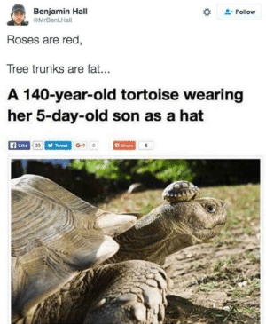 Tortoise Shell Hat. by lloydyhats FOLLOW HERE 4 MORE MEMES.: Benjamin Hall  Follow  MrBenLHall  Roses are red,  Tree trunks are fat...  A 140-year-old tortoise wearing  her 5-day-old son as a hat  Like 33 Tweet G+  Share Tortoise Shell Hat. by lloydyhats FOLLOW HERE 4 MORE MEMES.