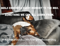 Boxer: BENJI EMBRACES VERY MOMENT TO THE MAX.  SOMETHING WE CANALL LEARN FROM  WW  boxer dog