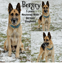 Dogs, Memes, and Puppies: Bergey  5 years  Neutered Male  German  Shepherd All dogs/puppies in our shelter can be viewed here. Any dog not being held as a stray is available for immediate, same-day adoption! Adoption applications are reviewed on site. Please share our dogs and help get them out of the shelter as quickly as possible! **PLEASE NOTE** Placing an application on a dog featured in this album does NOT hold the dog for you. All available dogs are available to be met and adopted same day if already altered. If not altered, the dog can be met and paid for in order to hold the dog for you. Thank you for your understanding!
