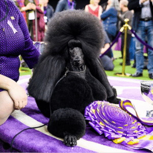 """BEST IN SHOW: Siba, Standard Poodle (3 y/o), Westminster Kennel Club Dog Show, New York, NY • """"I knew she was going to be a champion from a young age. This is her 57th Best in Show title and she's retiring this year. She sleeps in our bed and she stole my husband's leather recliner."""": BEST IN SHOW: Siba, Standard Poodle (3 y/o), Westminster Kennel Club Dog Show, New York, NY • """"I knew she was going to be a champion from a young age. This is her 57th Best in Show title and she's retiring this year. She sleeps in our bed and she stole my husband's leather recliner."""""""