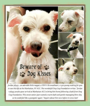 """Andrew Bogut, Animals, and Desperate: BeWare of  Dog Kisses  Jordan 56945... an adorable little nugget, a TINY 6 lb sweetheart, yrs young waiting for you  to save his life at the Manhattan, NY ACC. The wonderful Dog Guy Foundation writes: Jordan  #56945 awaits your arrival at Manhattan ACC to bring him home following a bath rom Dog  Guy Foundation. This sweet senior just wanted a warm bath and gentle massaging blow dry  so he could feel like a youngster again. Inquire about him now before it is too late! **FOSTER or ADOPTER NEEDED ASAP** Jordan 56945... an adorable little nugget, a TINY 6 lb sweetheart, 11 yrs young waiting for you to save his life at the Manhattan, NY ACC. The wonderful Dog Guy Foundation writes: """"Jordan #56945 awaits your arrival at Manhattan ACC to bring him home following a bath from Dog Guy Foundation. This sweet senior just wanted a warm bath and gentle massaging blow dry so he could feel like a youngster again."""" Inquire about him now before it is too late!  ✔Pledge✔Tag✔Share✔FOSTER✔ADOPT✔Save a life!  Jordan 56945 Small Mixed Breed Sex male Age 11 yrs (approx.) - 6 lbs My health has been checked.  My vaccinations are up to date. My worming is up to date.  I have been micro-chipped.  I am waiting for you at the Manhattan, NY ACC. Please, Please, Please, save me!  ****************************************** To FOSTER or ADOPT, SPEAK UP NOW:  Direct Adopt from the ACC Or Apply with rescues Or Message Must Love Dogs - Saving NYC Dogs  for assistance ASAP!!! ******************************************  The general rule is to foster you have to be within 4 hours of the NYC ACC approved New Hope partner rescues you are applying with and to adopt you will have to be in the general NE US area; NY, NJ, CT, PA, DC, MD, DE, NH, RI, MA, VT & ME (some rescues will transport to VA) UNLESS you can get to the shelter IN PERSON.  ******************************************  DVM Intake Exam Estimated age: >10 YEARS Estimated per age  Microchip noted on Intake? yes"""