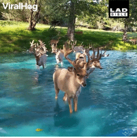 Dank, Deer, and 🤖: BIBL E Just a group of majestic deer taking a dip in this incredibly clear lake 😍🦌